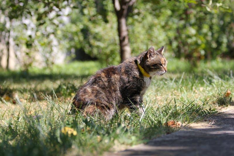 De drie-gekleurde kat loopt in gras royalty-vrije stock fotografie
