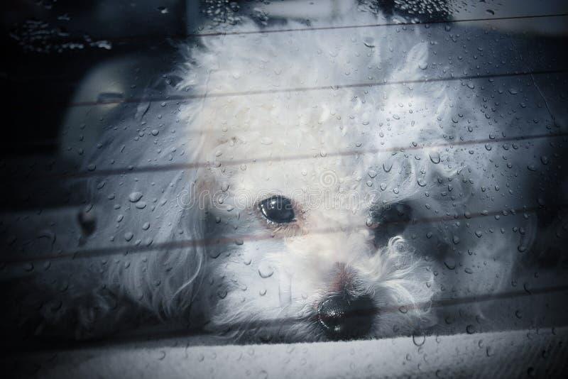 De droevige hond sloot binnenauto stock afbeeldingen