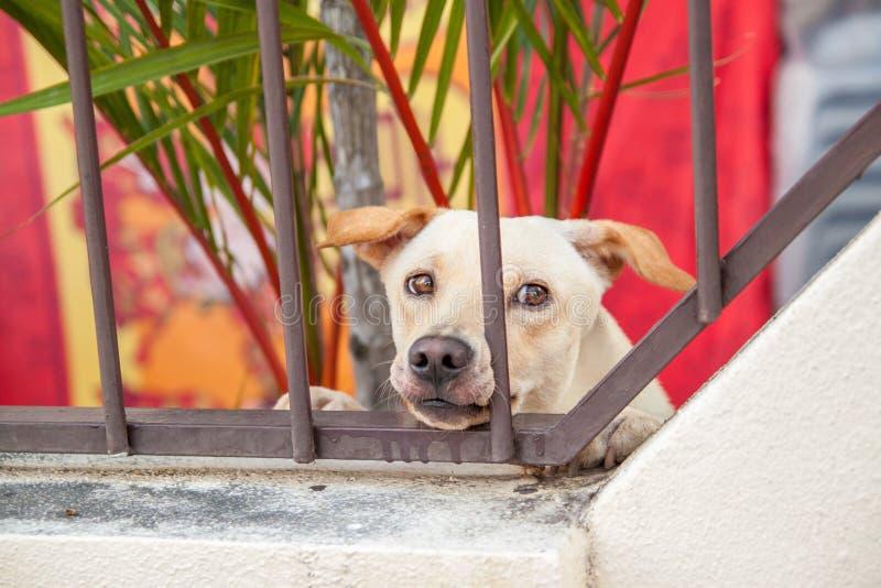 De droevige hond zit achter ijzerpoort royalty-vrije stock afbeelding