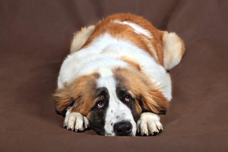 De droevige hondsint-bernard rust hoofd legt op poten stock afbeelding