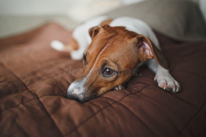 De droevigste hond van het ras Jack Russell Terrier ligt op een bruine sprei op het bed en onderzoekt de afstand royalty-vrije stock fotografie