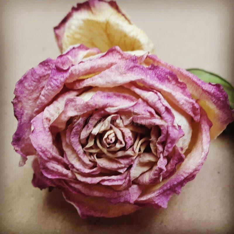 De droge bloem stock afbeelding