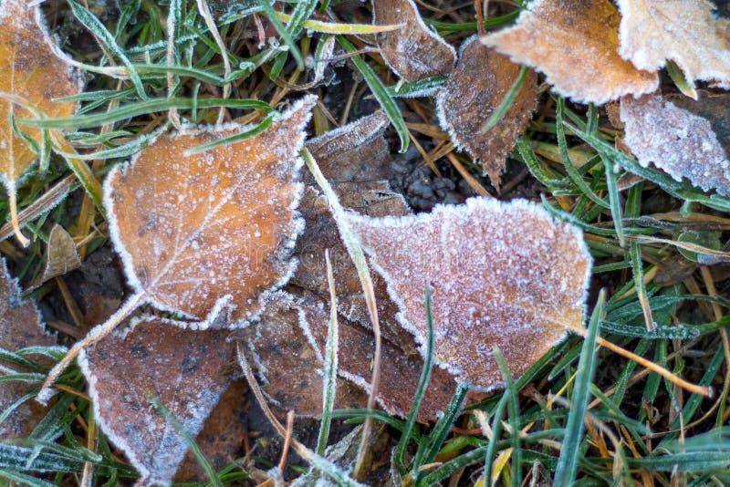 De droge die berkbladeren, met vorst worden behandeld, liggen op het gras in Th royalty-vrije stock afbeeldingen