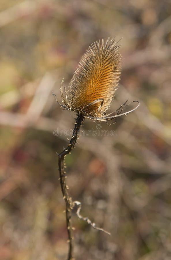 De droge distel op het gebied tart de herfst en de komende winter royalty-vrije stock afbeelding
