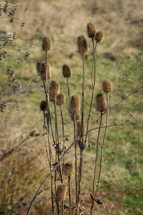 De droge distel op het gebied tart de herfst en de komende winter stock afbeelding