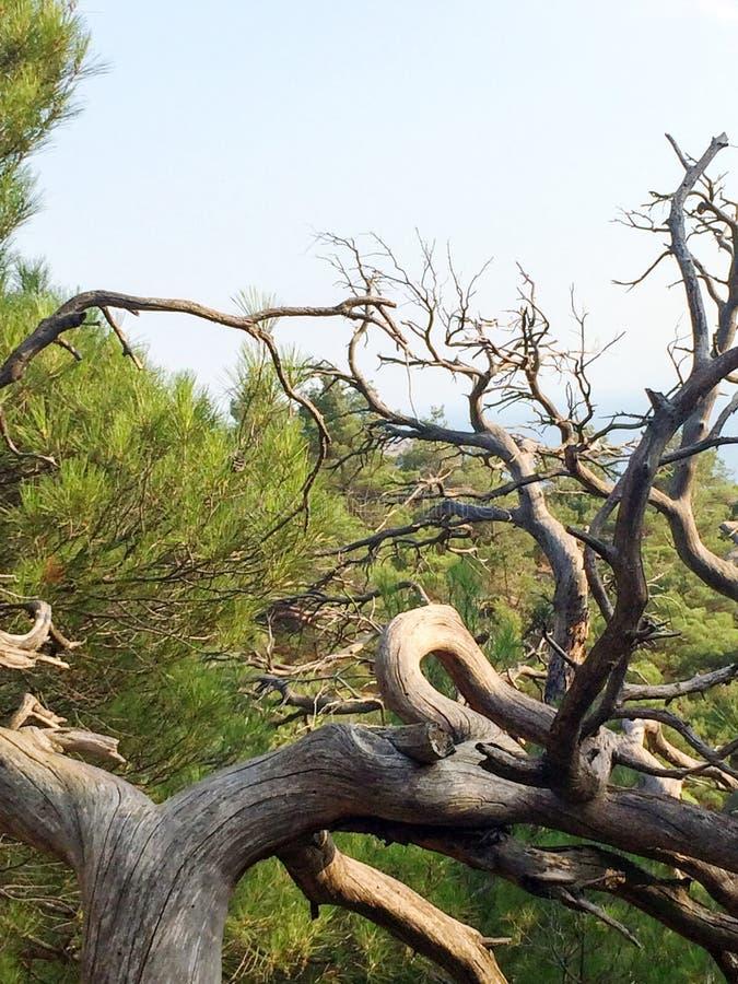 De droge, knoestige boom vertakt zich op een groene achtergrond en het overzees op de horizon, droge takken zonder schors, natuur stock foto