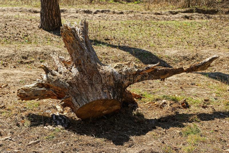 De droge oude bruine ontwortelde boomwortel ligt op gras en grond stock foto