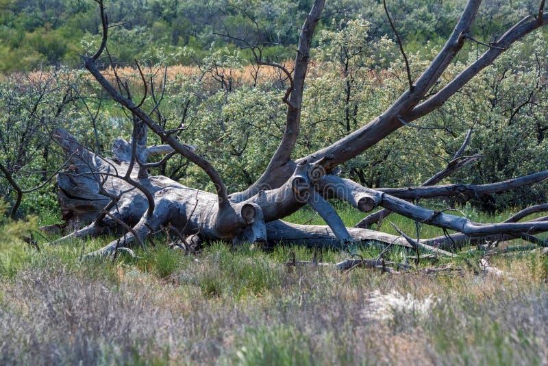 De droge oude ontwortelde boom ligt op grond in aard stock foto's