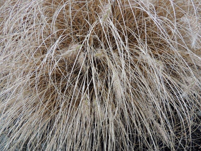 De droge vossestaart van struikpennisetum stock foto's