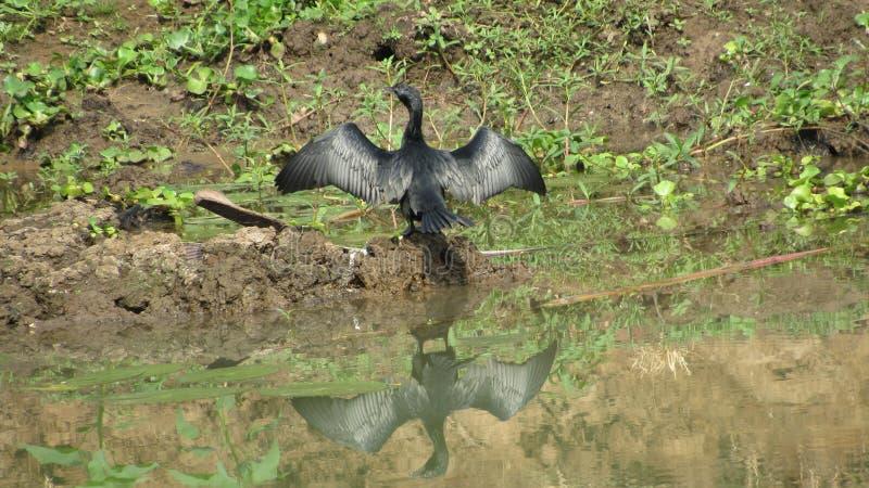 de drogende die vleugels van de duikervogel in zonbezinning worden uitgerekt over water stock afbeelding