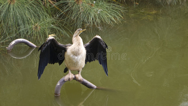 De Drogende Vleugels van Darter stock foto