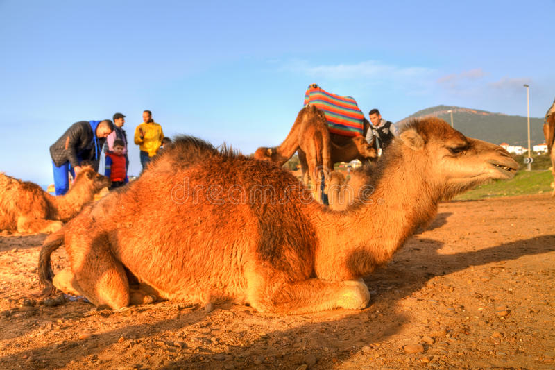 De dromedaris legt in het zand stock foto's