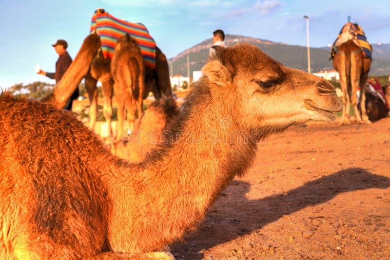 De dromedaris legt in het zand royalty-vrije stock foto's