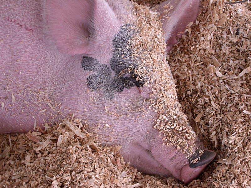 De Dromen van het varken stock afbeeldingen