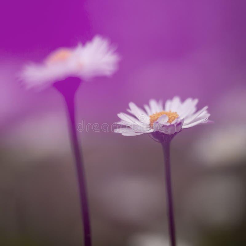 De dromerige madeliefjes, defocussed onscherp romantisch effect Natuurlijke de lenteachtergrond stock foto's