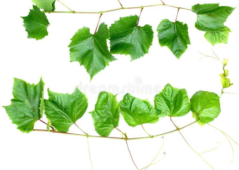 De druif doorbladert stock fotografie