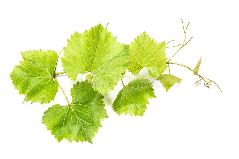 De druif verlaat witte achtergrond Groen wijnstokblad stock fotografie