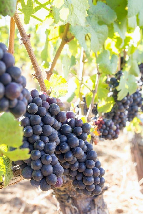 De Druiven die van de rode Wijn op de Verticaal van Wijnstokken hangen royalty-vrije stock fotografie