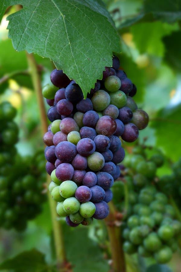 Download De Druiven Van De Pinot Noir Stock Afbeelding - Afbeelding bestaande uit willamette, oregon: 10776051