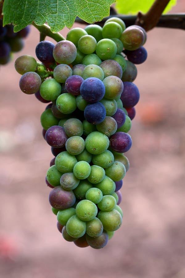 Download De Druiven Van De Pinot Noir Stock Foto - Afbeelding bestaande uit wijnstok, druiven: 10776054