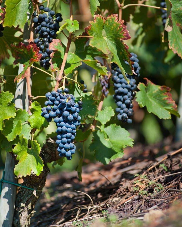 De Druiven van de rode Wijn voor Oogst stock afbeelding