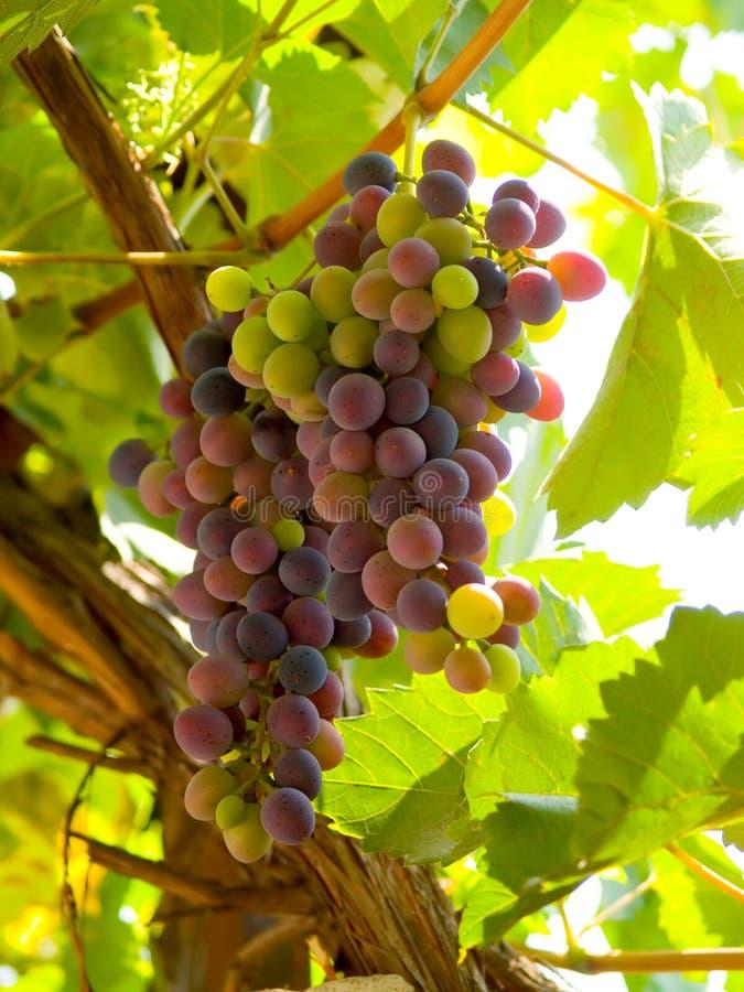 De Druiven van de wijn royalty-vrije stock foto