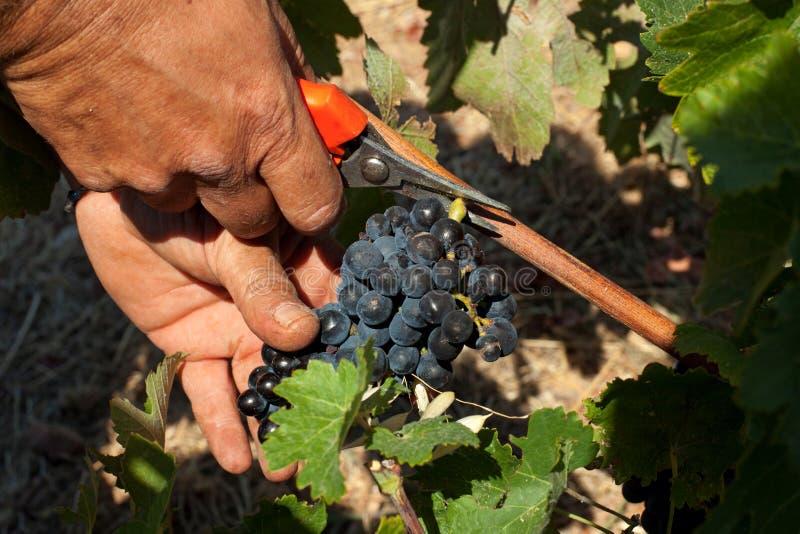 De druiven van de wijnstokoogst royalty-vrije stock afbeelding