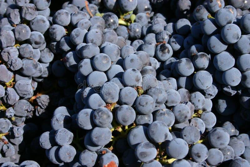 De Druiven van Livermore royalty-vrije stock foto