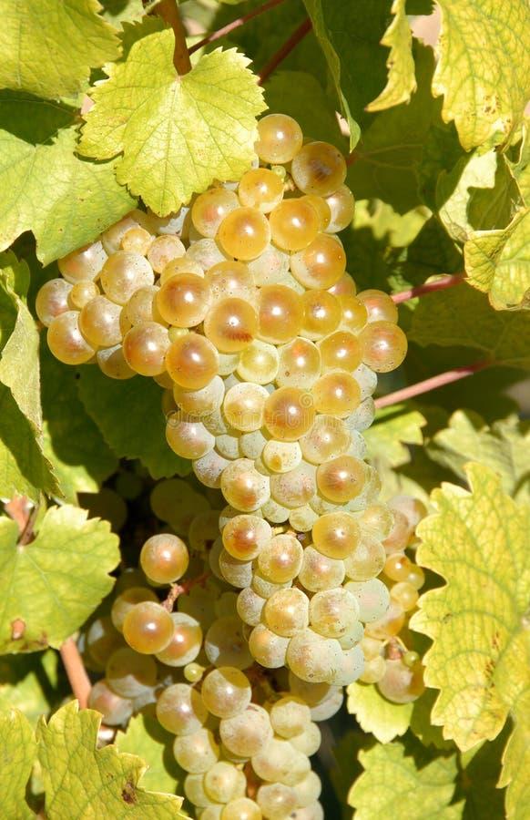 De Druiven van riesling royalty-vrije stock afbeeldingen