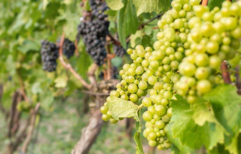 De druiven van silvaner en Portugieser-groeien op een wijngaard royalty-vrije stock foto's