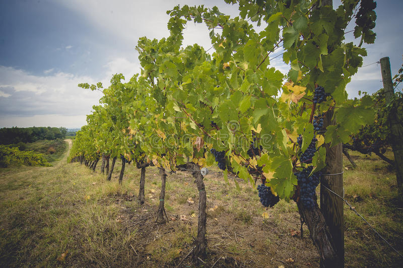 De druivengebieden in Toscanië, Italië stock foto