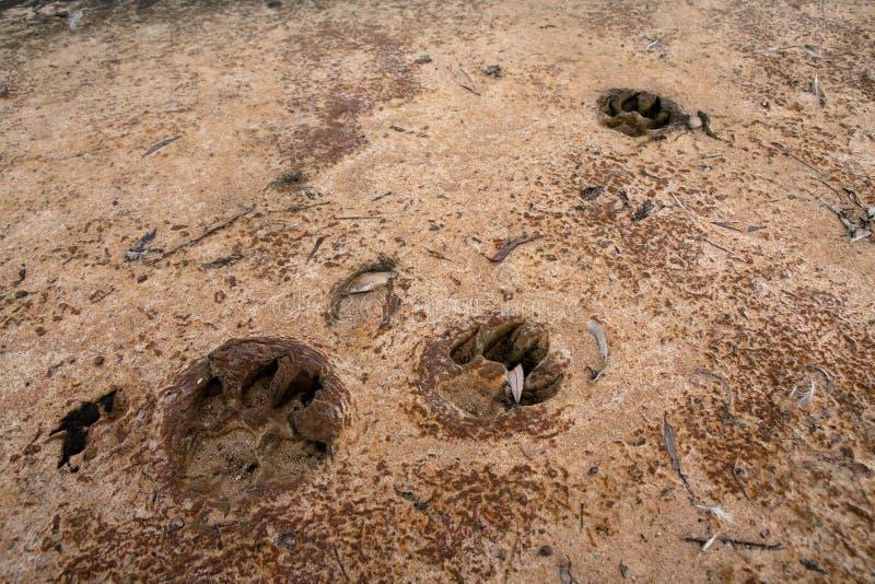 De drukken van de hondpoot op de kust worden gestempeld die royalty-vrije stock foto