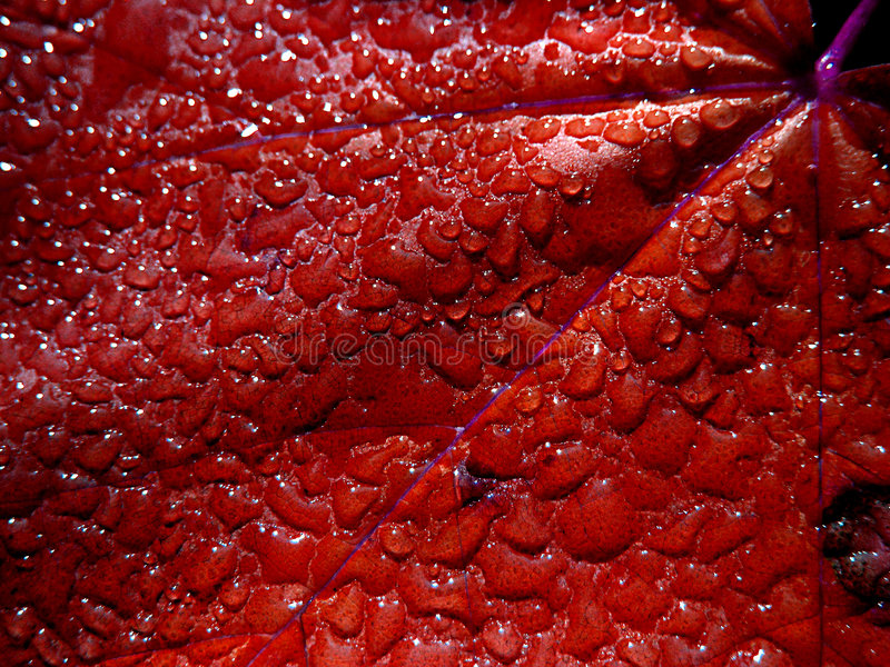 De druppeltjes van het water op rood blad stock afbeeldingen