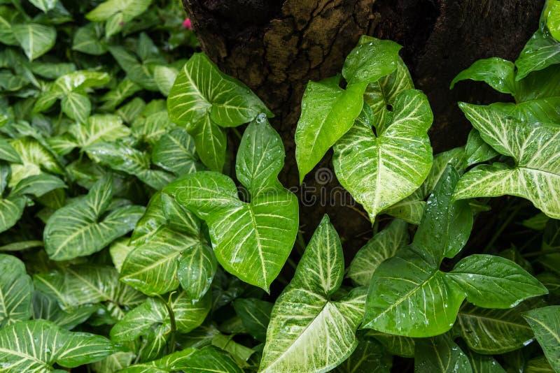 De druppeltjes van regen op green doorbladert in de ochtend, ondiepe afd. royalty-vrije stock fotografie