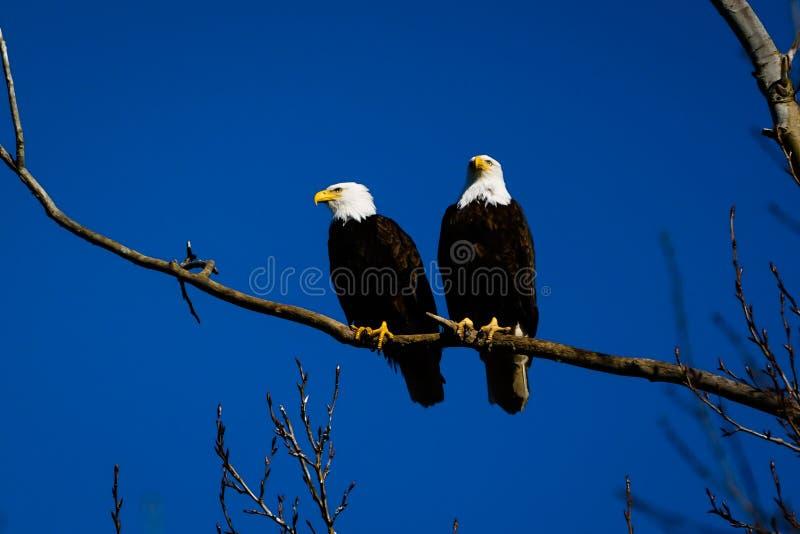De dubbele Amerikaanse kale adelaars strijken op boomwinkelhaak neer tegen achtergrond van blauwe hemel royalty-vrije stock afbeeldingen