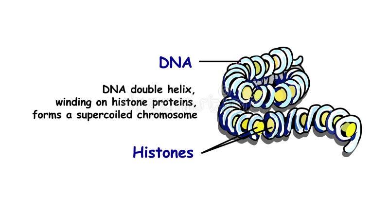 De dubbele schroef die van DNA op histone proteïnen morsen vormt een superspreadchromosoom DNA-replicatie op wit wordt geïsoleerd vector illustratie