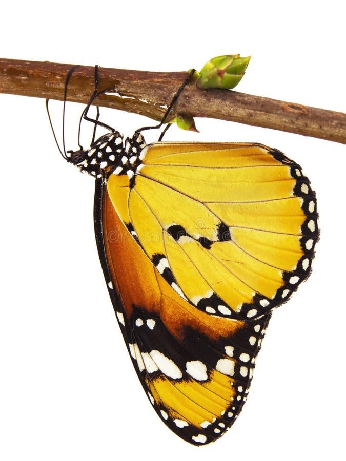 De duidelijke die tijgervlinder, Danaus-chrysippus, hangt op een tak, op witte achtergrond wordt geïsoleerd stock fotografie