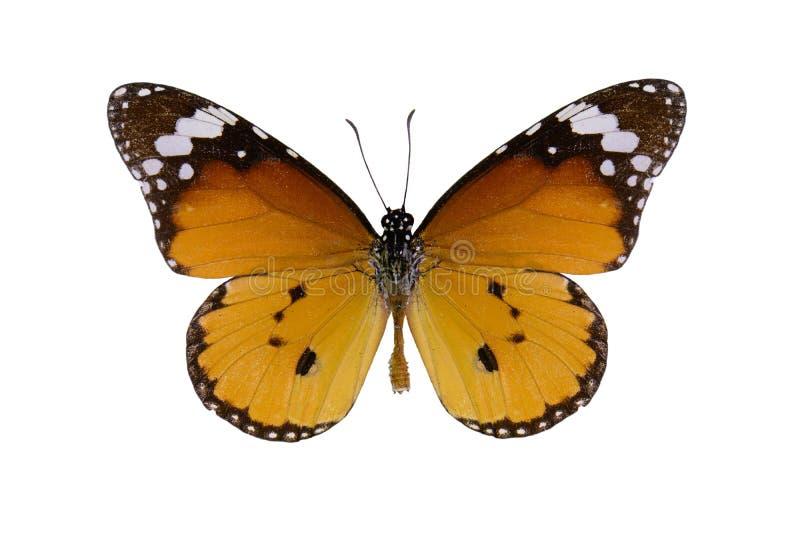 De duidelijke vlinder van de Tijger (chrysippus Danaus) royalty-vrije stock afbeelding