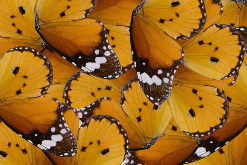 De duidelijke vlinder van de Tijger (chrysippus Danaus) royalty-vrije stock foto's