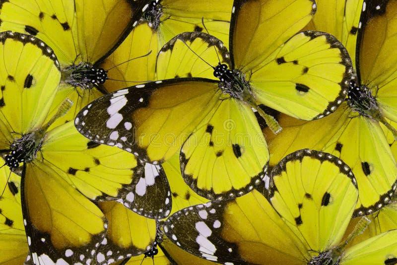 De duidelijke vlinder van de Tijger (chrysippus Danaus) stock afbeeldingen