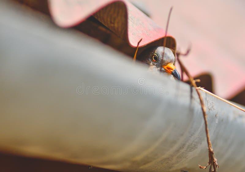 De duif behandelt haar babys in haar nest royalty-vrije stock afbeeldingen