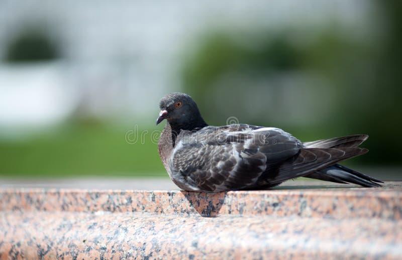 De duif in de stad op het marmeren traliewerk stock foto's