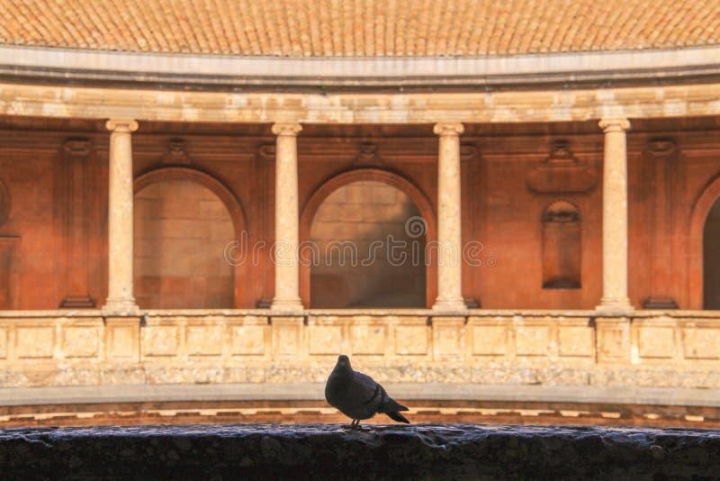 De duif treft om van schuilplaats te vliegen voorbereidingen royalty-vrije stock foto's