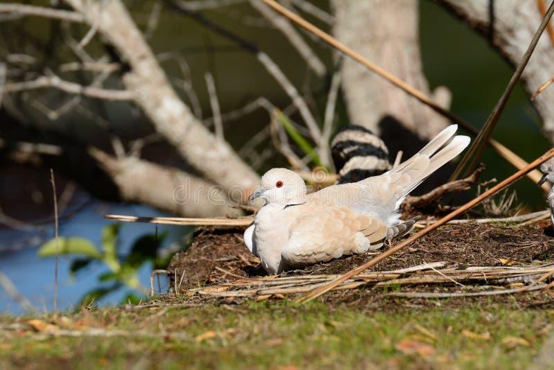 De duif van Barbarije royalty-vrije stock afbeeldingen