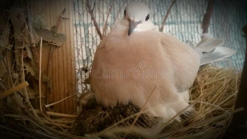 De duif van Barbarije op nest met baby stock foto