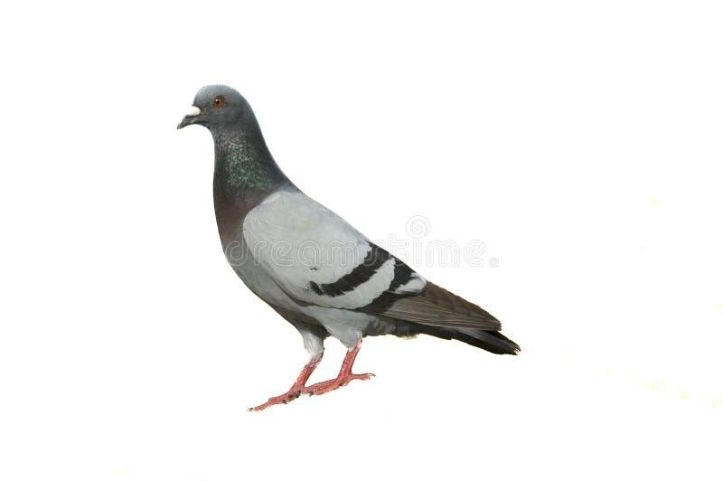 De duif van de rots op wit stock foto