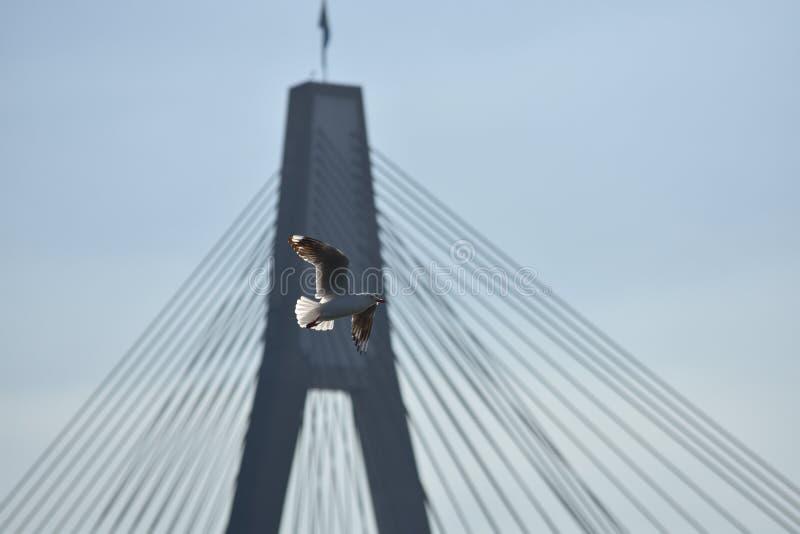 De duif vliegt over een uitgerekte brug stock afbeelding