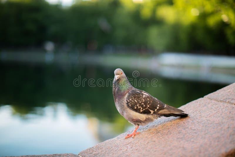 de duif zit op één been royalty-vrije stock foto