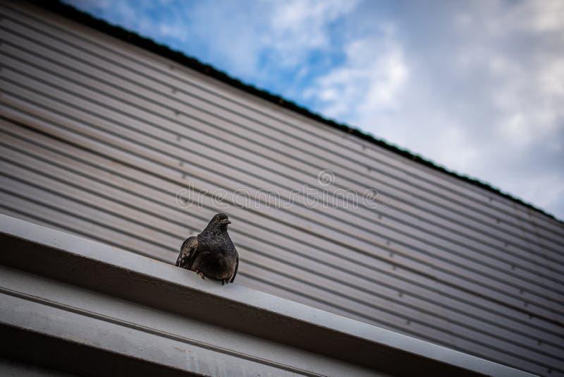 De duif zit op eaves op een achtergrond van vage bruine muur en bewolkte hemel royalty-vrije stock afbeeldingen