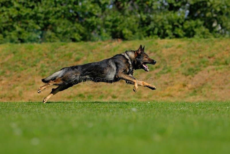 De Duitse herder Dog, is een ras van grote werkende hond die in Duitsland voortkwam, die in het groene gras met aardrug zitten stock foto